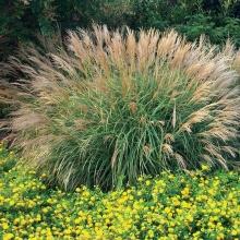Мискантус китайский (Miscanthus sinensis) - Семена Тут