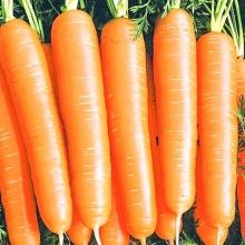 Морковь Алтайская Сахарная - Семена Тут