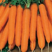 Морковь Амстердамска раннеспелый - Семена Тут