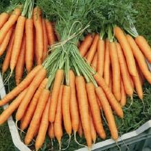 Морковь Каротинка среднеспелый - Семена Тут