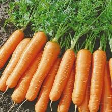 Морковь Мармеладка - Семена Тут