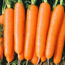 Морковь Медово Сахарная (гелевое драже) - Семена Тут