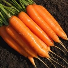Морковь Варвара краса