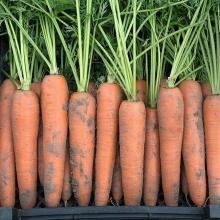 Морковь Зимний нектар (драже) - Семена Тут