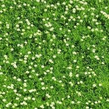 Мшанка Ирландский мох шиловидная - Семена Тут