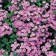 Мыльнянка (сапонария) Розовая лужайка базиликолистная - Семена Тут
