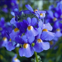 Немезия Соло синяя - Семена Тут