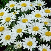 Нивяник Крупноцветковый Белый - Семена Тут
