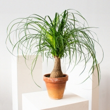Нолина (бокарнея) Бутылочное дерево - Семена Тут