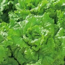 Салат Новогодний листовой - Семена Тут