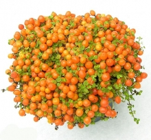 Паслен Оранж Берри - Семена Тут