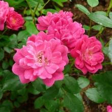 Роза китайская (Rosa chinensis) Angel Wings - Семена Тут