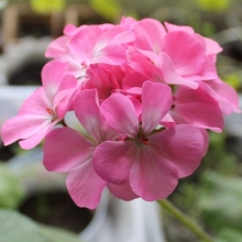 Пеларгония Магия лета F2 розовая - Семена Тут
