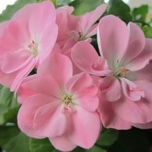 Пеларгония зональная Шоколадница Нежно-розовая - Семена Тут
