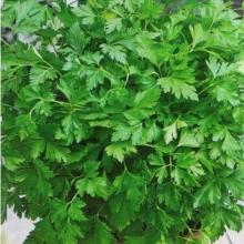 Петрушка листовая Русское застолье - Семена Тут