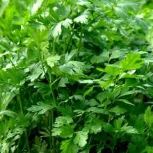 Петрушка листовая Салатная - Семена Тут