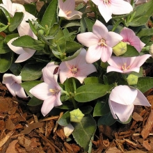 Платикодон Розовый флорист (Ширококолокольчик) - Семена Тут