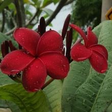 Плюмерия (франжипани) Красный Турмалин - Семена Тут