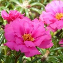 Портулак махровый розовый - Семена Тут