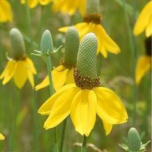 Ратибида колоновидная Цветок прерий - Семена Тут