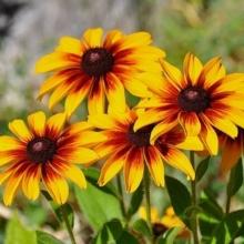 Рудбекия Осенние цветы смесь - Семена Тут