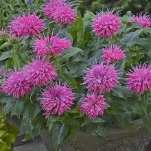 Садовый бергамот Цитрусовый аромат - Семена Тут