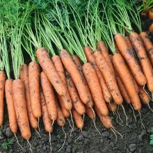 Морковь Санькина Любовь F1® (гелевое драже) - Семена Тут