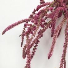 Лимониум Суворова розовый (Кермек) - Семена Тут