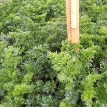 Сельдерей листовой Ажур - Семена Тут