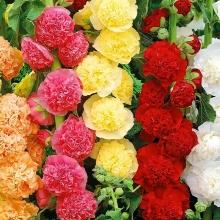 Шток-роза (Мальва) Летний карнавал, смесь - Семена Тут