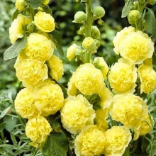 Шток-роза Жёлтая - Семена Тут