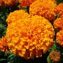 Бархатцы Солнечные Гиганты Оранжевые - Семена Тут