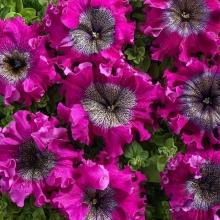 Петуния Тёмно-пурпурная (Люкс) - Семена Тут