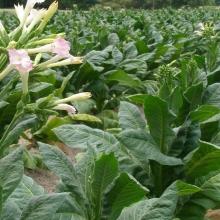 Табак настоящий Кубинский курительный - Семена Тут