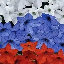 Табак Российский флаг F1 смесь окрасок - Семена Тут