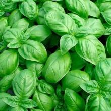 Базилик овощной Тонус зеленый - Семена Тут