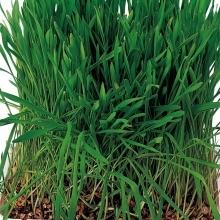 Трава для грызунов Хрум-хрум - Семена Тут