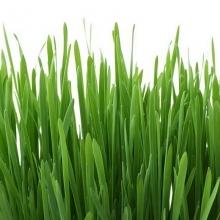 Трава для хомячков Пушистик - Семена Тут