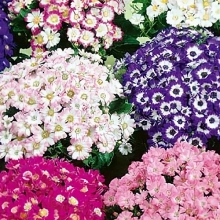 Цинерария Симпатия (цветущая гибридная)