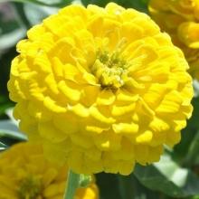 Цинния Исполин желтый - Семена Тут