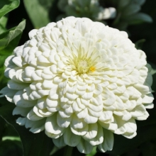 Цинния Крупноцветковая белая - Семена Тут