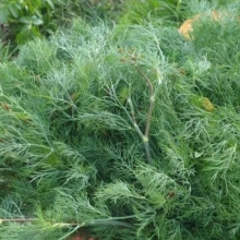 Укроп Зеленая аллея - Семена Тут