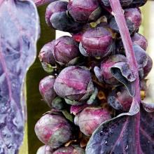 Капуста брюссельская Виноградная гроздь - Семена Тут
