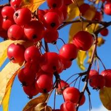 Яблоня Сибирячка ягодная - Семена Тут