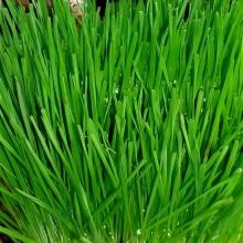 Зеленые Витамины для Пернатых - Семена Тут