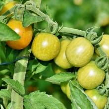 Томат Зелёный мёд (Реликтовые томаты) - Семена Тут