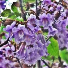 Жакаранда Фиалковое дерево - Семена Тут