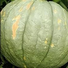 Тыква Зимняя сладкая крупноплодная - Семена Тут