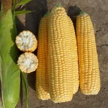 Кукуруза Золотой початок - Семена Тут